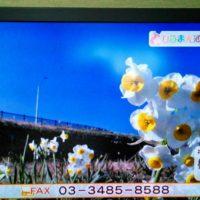 NHKひるまえほっと 紫水大橋の水仙