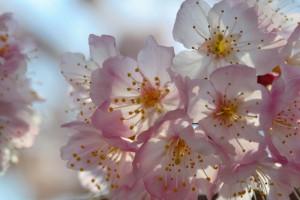 一の堰ハラネ春めき桜まつり 2017年3月19日撮影