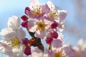 一の堰ハラネ春めき桜まつり<br />2017年3月19日撮影