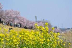 春木径・幸せ道桜まつり 2017年3月20日撮影
