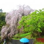 長興山 しだれ桜 撮影:2017年4月9日 カメラ:Nikon1 J3 レンズ:1NIKKOR VR10-30mm