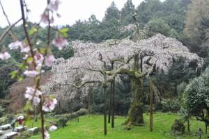 長興山 しだれ桜 撮影:2017年4月9日 カメラ:Nikon1 J1 レンズ:1NIKKOR 18.5mm