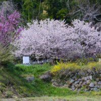 花咲く里山桜まつり 2017年4月2日撮影
