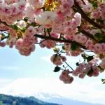 西桂町桂川公園 撮影:2017年4月30日 カメラ:Nikon1 J3 レンズ:1NIKKOR VR10-30mm