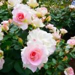 小田原フラワーガーデンの薔薇 2017年5月14日撮影 カメラ:Nikon1 J3 レンズ:1NIKKOR VR10-30mm
