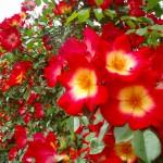 小田原フラワーガーデンの薔薇 2017年5月14日撮影 カメラ:オリンパス μTOU8010