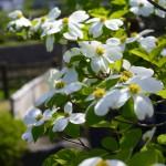 西桂町桂川公園 撮影:2017年5月4日 カメラ:Nikon1 J4 レンズ:1NIKKOR VR30-110mm