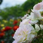 小田原フラワーガーデンの薔薇 2017年5月14日撮影 カメラ:Nikon1 J4 レンズ:1NIKKOR VR30-110mm
