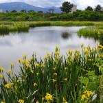 ひょうたん池の菖蒲 2017年5月14日撮影 カメラ:Nikon1 J1 レンズ:1NIKKOR 10mm