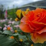 小田原フラワーガーデンの薔薇 2017年5月14日撮影 カメラ:Nikon1 J1 レンズ:1NIKKOR 10mm