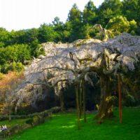 長興山の枝垂れ桜 2019年3月31日撮影