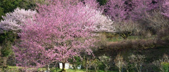 南足柄市 桜 2020年3月15日撮影